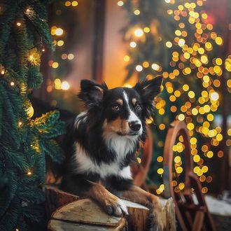 Фото Собака породы бордер-колли возле елки на фоне боке