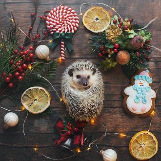 Фото Ежик в окружении новогодних сладостей