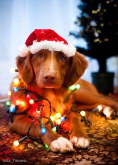 Фото Собака в новогодней шапке в окружении гирлянды, by Yulia_Titovets
