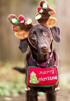Фото Собака с ободком оленьих ушей и рогов, с табличкой Merry Christmas / Счастливого Рождества