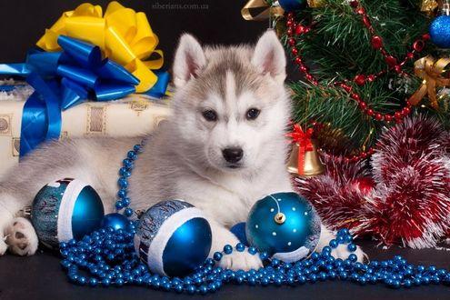 Фото Щенок хаски лежит перед синими новогодними шарами у елки