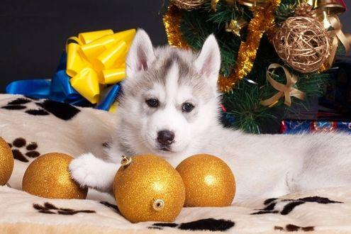 Фото Щенок хаски лежит перед золотистыми новогодними шарами у елки