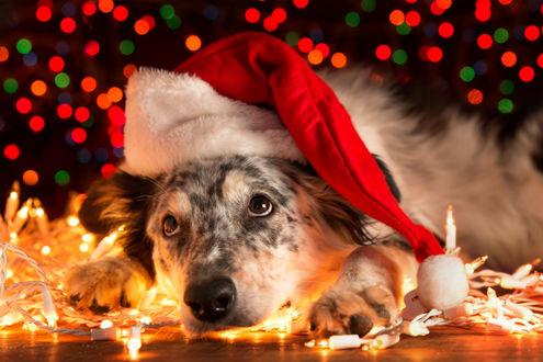 Фото Собака в новогодней шапочке лежит на полу в гирлянде и смотрит вверх
