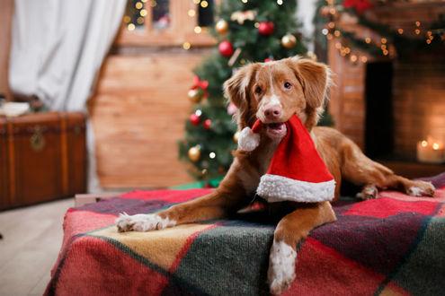 Фото Собака с новогодней шапкой в зубах лежит на клетчатом пледе на фоне елки и камина