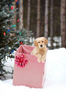 Фото Щенок золотистого ретривера в праздничной коробке у новогодней елки на снегу