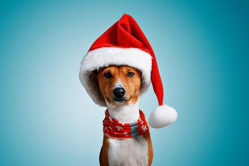 Фото Рыже-белая собака в новогодней шапке и с красным шарфом на шее на голубом фоне