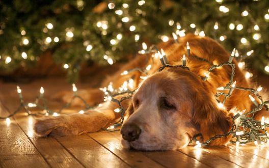 Фото Пожилой золотистый ретривер пес лежит на полу в гирлянде на фоне елки