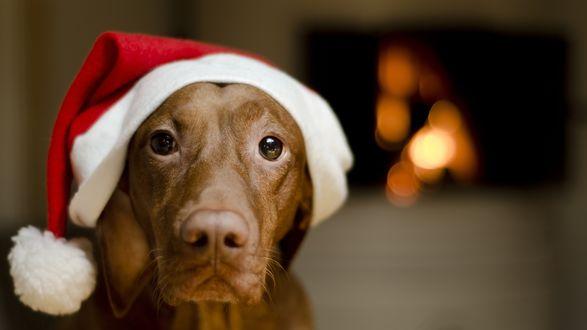 Фото Собака коричневого окраса в новогодней шапке на фоне камина