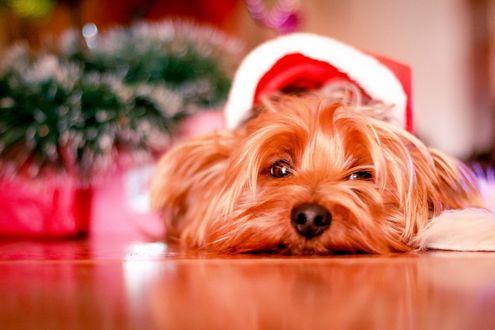 Фото Болонка в новогодней шапке лежит на полу