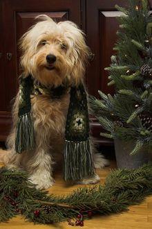 Фото Лохматый пес в шарфе сидит у елки и елочных веток на полу