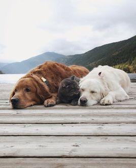 Фото Кошка лежит между собаками на мостике на фоне природы