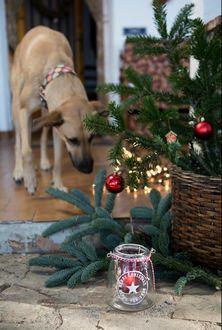 Фото Собака стоит в комнате, около наряженной елки в корзине, рядом с которой стоит стеклянная баночка со звездочкой и надписью merry christmas / happy new year (счастливого нового года и рождества)