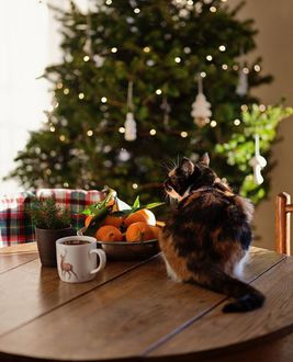 Фото Трехцветная кошка сидит на столе у блюда с новогодними мандаринами и чашкой с напитком в комнате с украшенной елкой, by Loreta and Elze