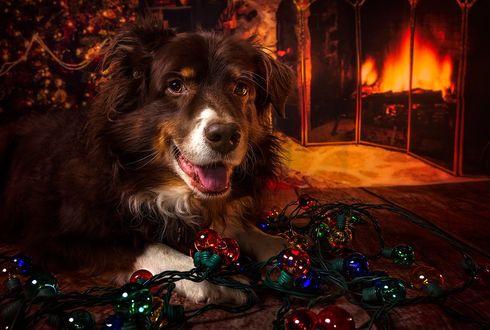 Фото Собака породы Бордер-колли лежит перед гирляндой в комнате с елкой и камином, by Carmen Sisson