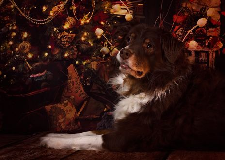 Фото Собака породы Бордер-колли лежит перед с елкой в гирлянде, by Carmen Sisson