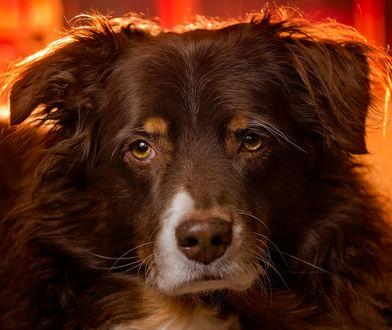 Фото Собака породы бордер колли, by Carmen Sisson