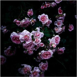 Фото Розовые розы на черном фоне (© zmeiy), добавлено: 13.01.2018 13:07