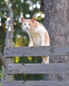 Фото Рыжая кошка на заборе, by Lena Kelmberg