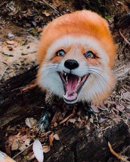 Фото Счастливая лисичка на природе