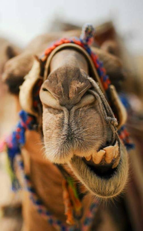 Фото Морда верблюда крупным планом