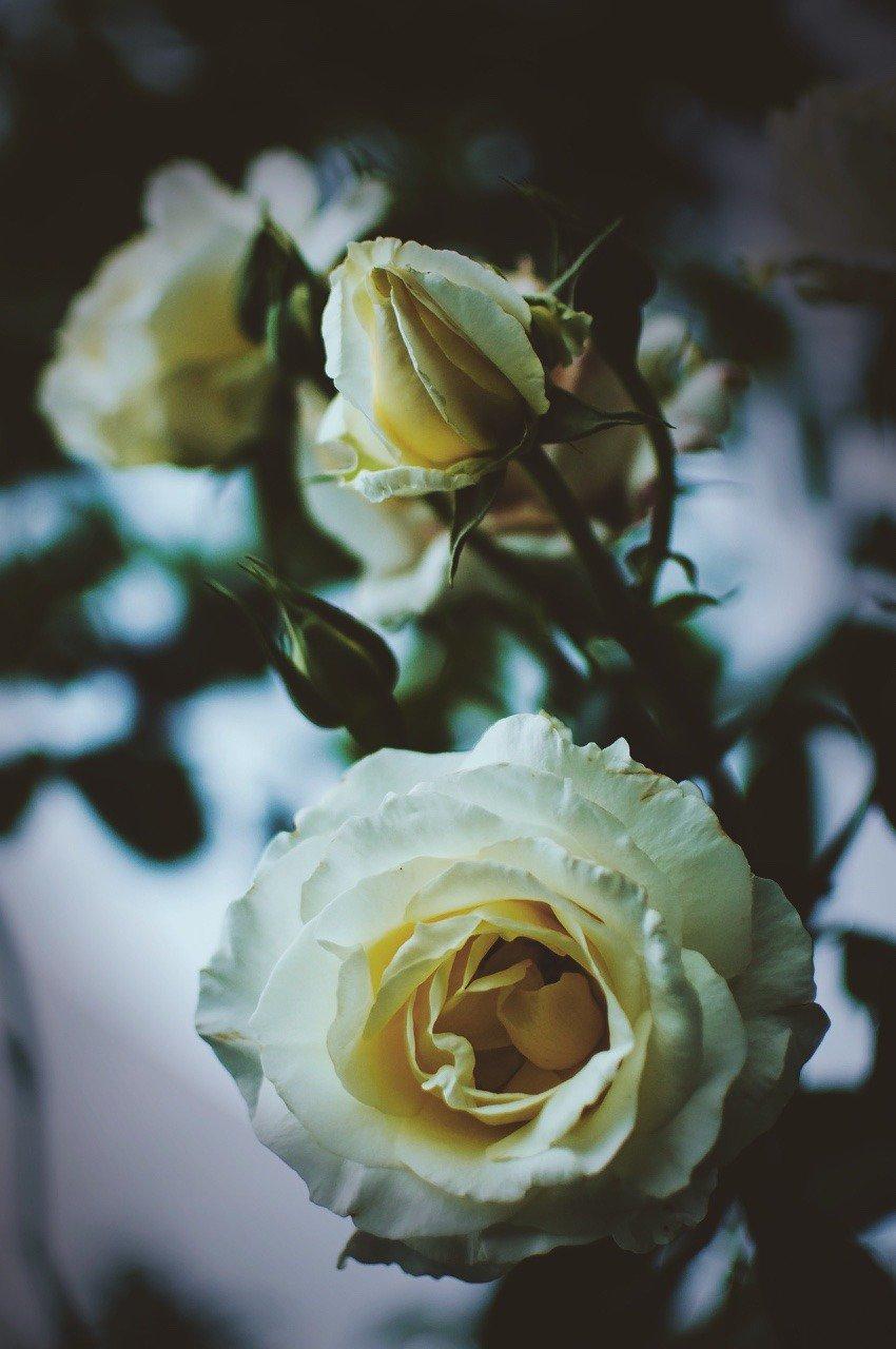 Фото Белые розы на размытом фоне