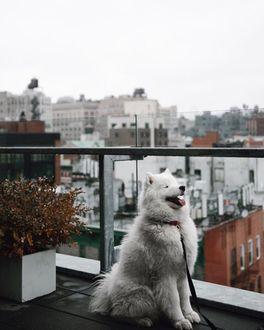 Фото Пес породы самоедская лайка наслаждается ветерком, сидя на балконе