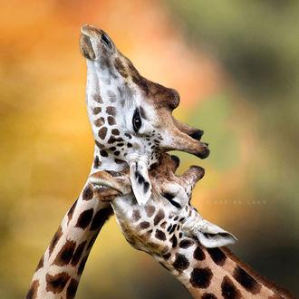 Фото Два целующихся жирафа