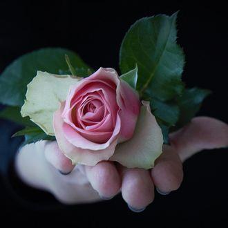 Фото В руке розовая роза с листьями