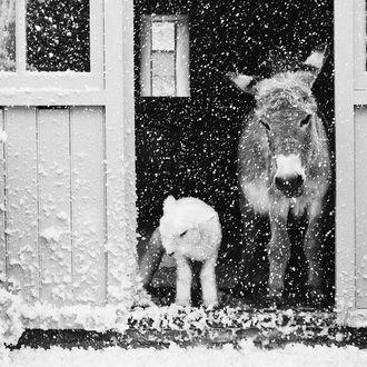 Фото Ослик и козлик под падающим снегом