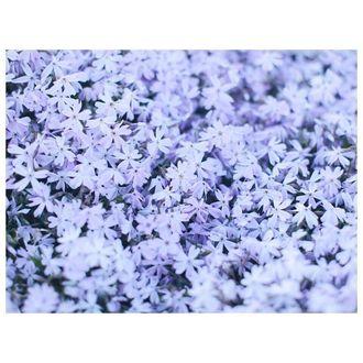 Фото Множество сиреневых цветов флокса