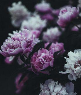 Фото Розовые и белые пионы