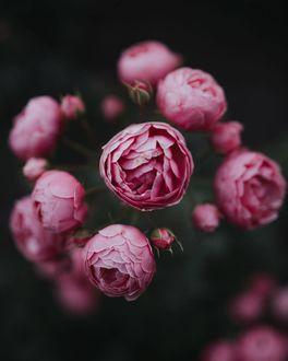 Фото Веточка розовых роз