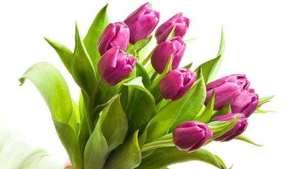 Фото Букет сиреневых тюльпанов