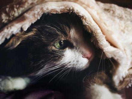 Фото Кошка под покрывалом