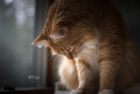 Фото Рыжий кот у окна, by Joan