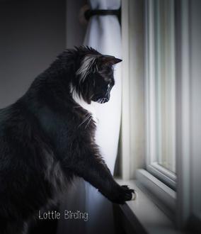Фото Черная кошка у окна, by Joan