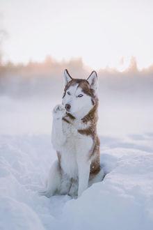 Фото Собака породы хаски сидит в снегу с поднятой лапой
