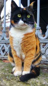 Фото Трехцветная кошка сидит на земле