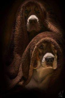 Фото Две собаки в покрывале
