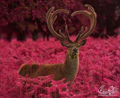 Фото Олень с рогами, образующих сердечко, стоит в окружении ярких растений папоротника, фотограф Max Ellis