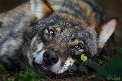Фото Серый волк лежит на земле, фотограф Marcel Bressers