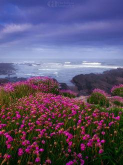Фото Розовые цветы перед пляжем в Yachats oregon, фотограф. Christina Angquico