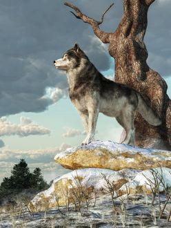 Фото Одинокий волк смотрит вдаль, by deskridg