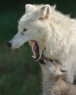 Фото Арктический волк с волчонком, фотограф Maxime Riendeau