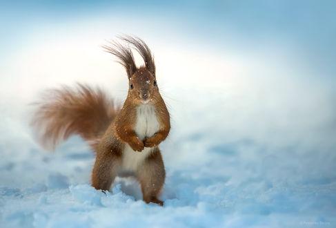 Фото Белка стоит на снегу. Фотограф Полюшко Сергей