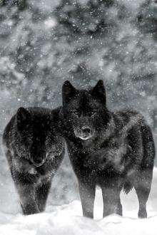 Фото Два черных волка под снегопадом