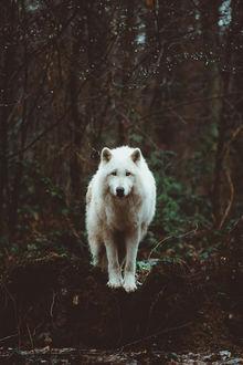 Фото Белый волк в лесу
