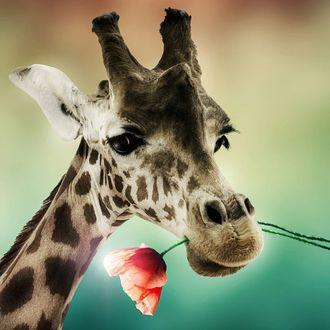Фото Жираф с маком