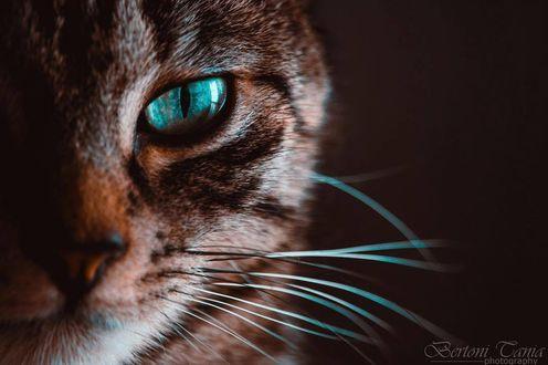 Фото Кошка с бирюзовыми глазами, фотограф Tania Bertoni