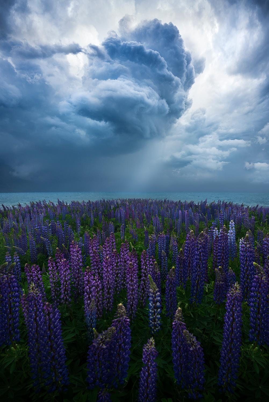 Фото Люпины под облачным небом, озеро Ohau, Новая Зеландия, фотограф William Patino